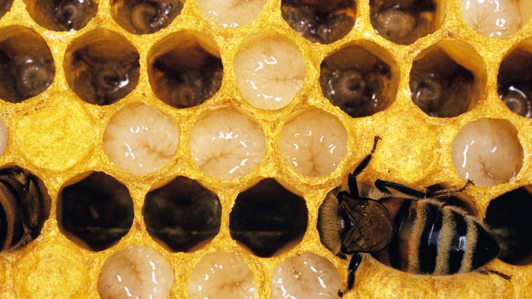 Biene und Bienenlarven in Waben