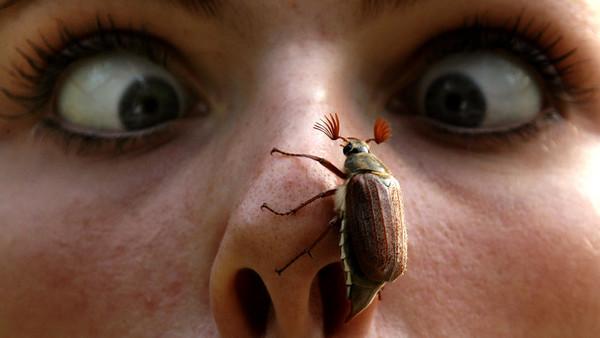 Ein Maikäfer krabbelt auf der Nase eines Menschen