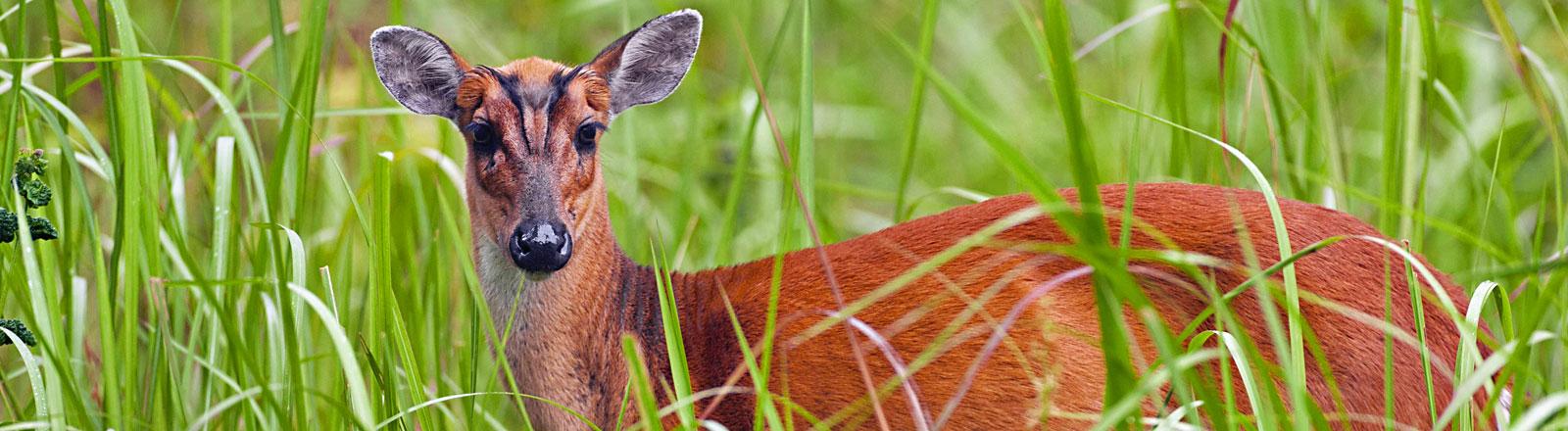 Ein Zwergmuntjak-Hirsch steht auf einer Wiese und blickt in die Kamera