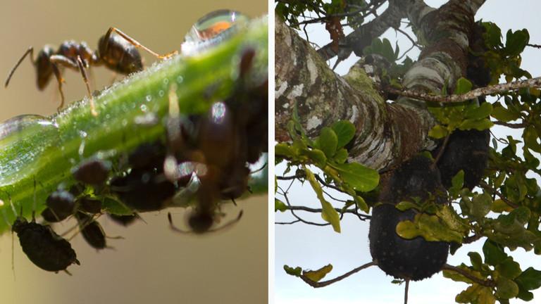 ameisen anbau von kaffeepflanzen auf den fidschi inseln dradio wissen. Black Bedroom Furniture Sets. Home Design Ideas