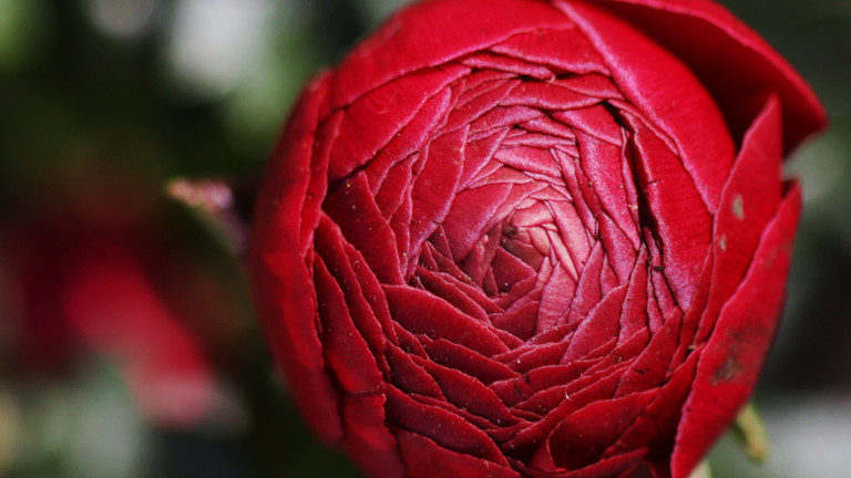 valentinstag alternativen f r rosen im februar dradio wissen. Black Bedroom Furniture Sets. Home Design Ideas