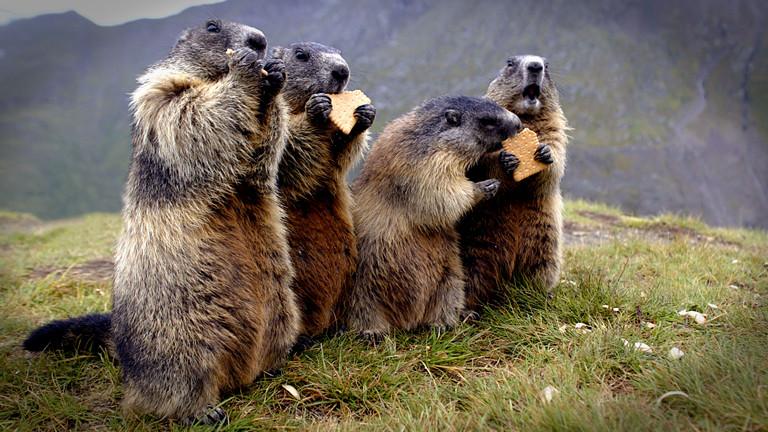 Vier österreichische Murmeltiere essen Butterkekse.
