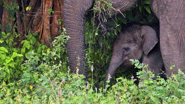 Ein Elefantenbaby mit seiner Mutter in Sri Lanka.