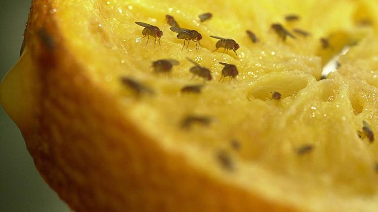 Fruchtfliegen auf einer Orangenhälfte.