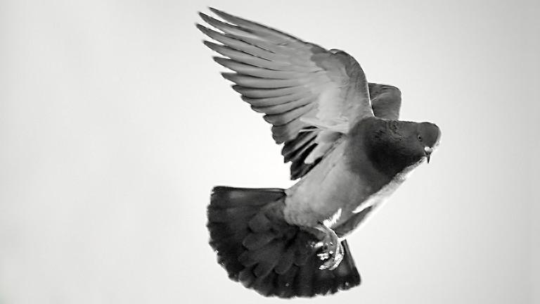 Fliegende Taube.