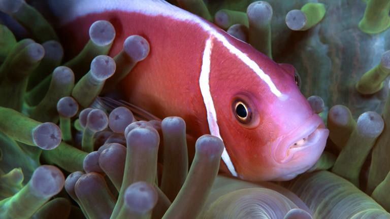 Ein Fisch, der von dem Parasiten Cymothoa exigua befallen ist.