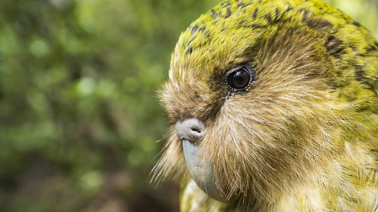 Der neuseeländische Kakapo - eine flugunfähige Papageienart.