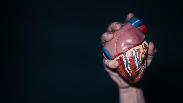 Ein Hand hält das Modell eines Herzens in der Hand.
