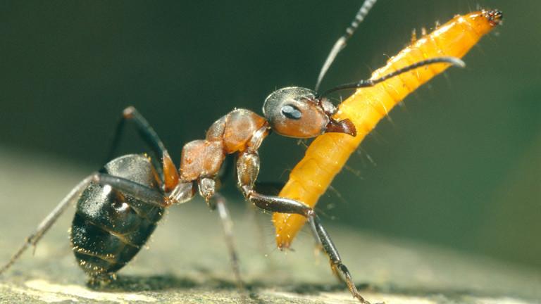 Eine Ameise trägt eine Larve.
