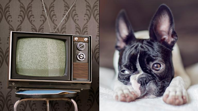 Ein Boston Bull Terrier und ein Fernseher.