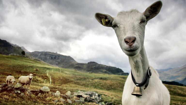 Eine Ziege auf einem Berg.