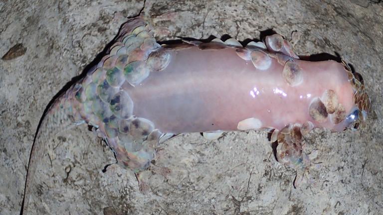 Ein Fischschuppengecko hat den Großteil seiner Schuppen abgeworfen.