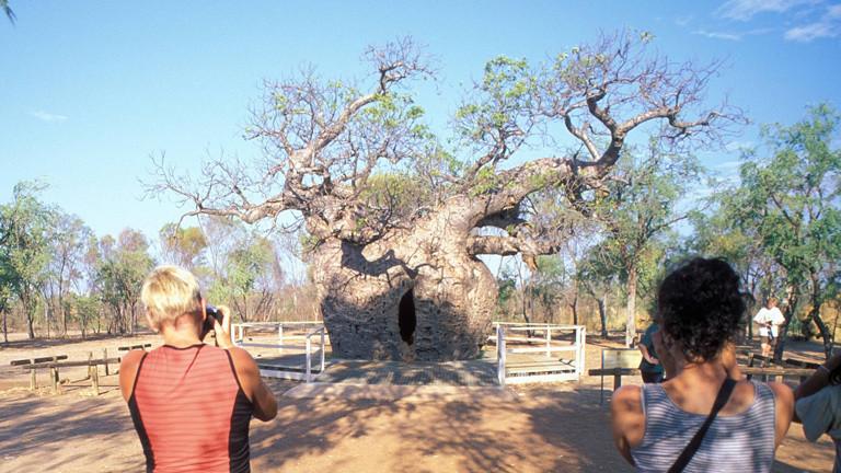 Touristen fotografieren den Boab Prison Tree bei Broome in Australien. Der Affenbrotbaum hat einen schmalen Schlitz und eine Höhle in seinem bauchigen Stamm. Seit Jahrzehnten hält sich der Mythos, dass im Stamm des Baumes Gefangene eingesperrt wurden.