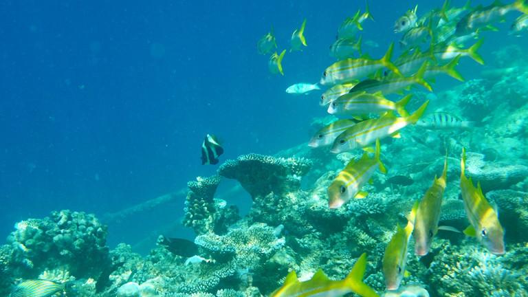 Ein Schwarm gelber Fische an einem Korallenriff