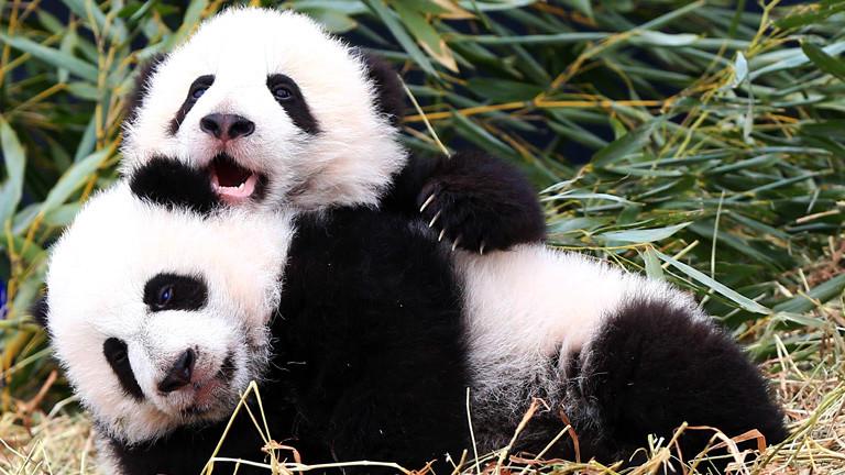 Zwei Baby-Pandas tollen herum